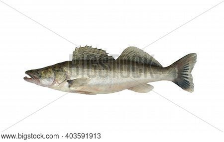 Photo Of A Fish On A White Background. Zander Or Pike Perch (lucioperca Lucioperca) Is Larger Cousin