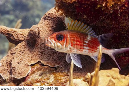 Longjaw Squirrelfish With Open Mouth  In Little Cayman