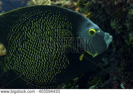 Closeup Of A French Angelfish Feeding In The Caribbean Sea