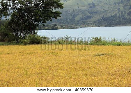 Oryza sativa or Paddy in the Field