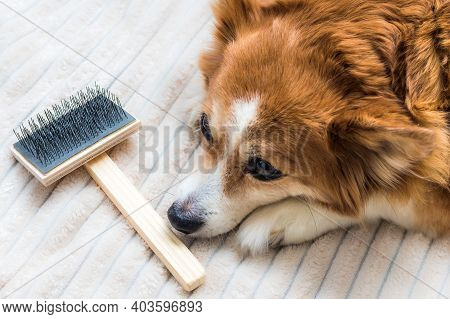 Sad Dog Lies Near A Brush For Combing Wool. Molting In A Dog