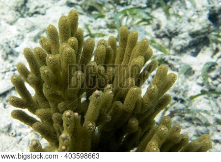 A Yellow Gorgonia Coral In Togian Islands