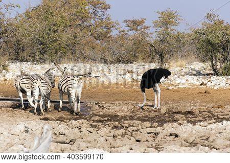 An Ostrich View At Waterhole