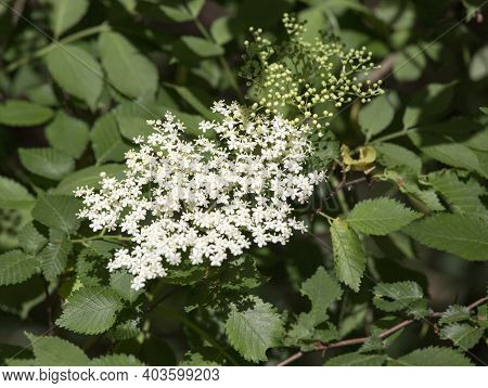 The Shrub, Sambucus  With Flowers In Italy