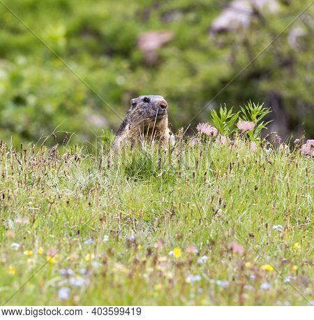 A Portrait Of A Marmot