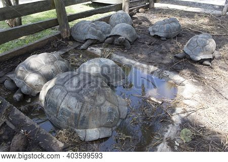 Group Of Giant Seychelles Turtles, In Seychelles