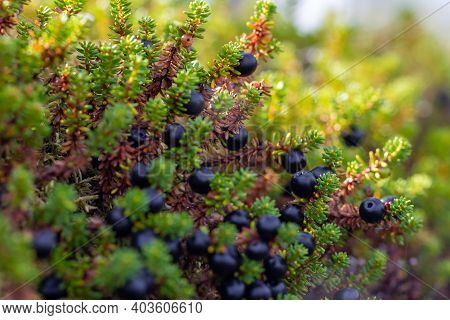 Ripe Ripe Berries Of Crowberry Close-up. Natural Background Of Forest Wild Uncultivated Black Empetr
