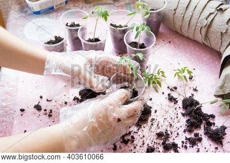 Seedling. Tomato Seedling Transplanting Process.young Vegetable Seedlings Of Tomatoes Transplanting