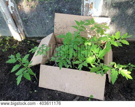 Seedling. Young Tomato Seedling In Pot. Gardening Vegetable Seedlings.