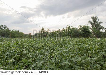Potato Plant. Ggreen Leaves Of Young Potato Plant. Potato Field With Green Plantspotato Plant.