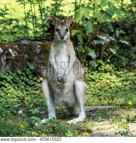 The Agile Wallaby, Macropus Agilis Also Known As The Sandy Wallaby Is A Species Of Wallaby Found In