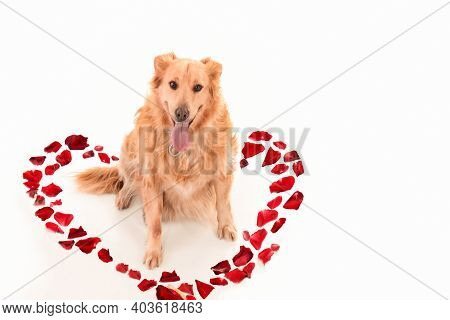 Ggolden Retriever Dog In A Heart Laid Out Of Red Rose Petals On A White Background, Isolated.greetin