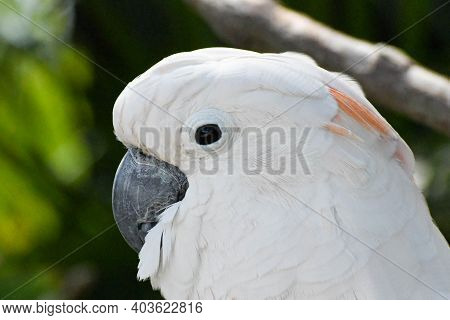 A White Salmon Crested Cockatoo In Florida