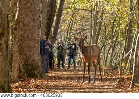 Cherokee, United States: October 19, 2020: Group Of Photographers Look On As Elk Cross Trail In Grea