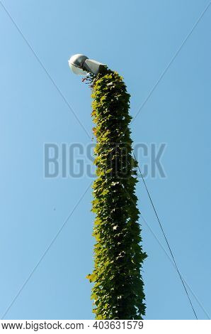 Lamppost Completely Braided With A Climbing Plant. High Quality Photo