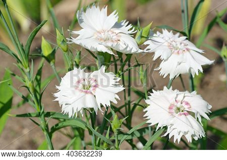 White Chinese Carnation (lat. Dianthus Chinensis) Blooms In The Garden