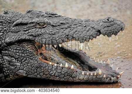 Portrait of a large Nile crocodile (Crocodylus niloticus) with open jaws, South Africa