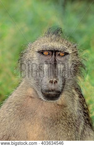 Portrait of a chacma baboon (Papio ursinus) in natural habitat, South Africa