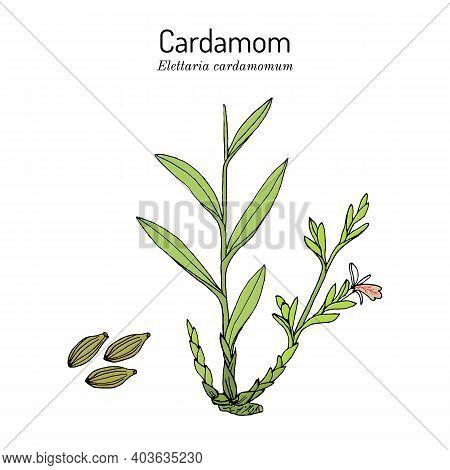 Aromatic Plant Green Or True Cardamom Elettaria Cardamomum . Hand Drawn Botanical Vector Illustratio