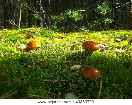 beautiful young fly agarics in the forest