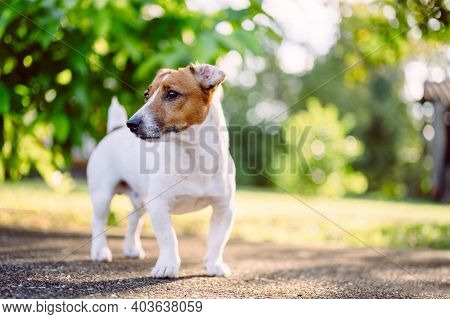 Young Puppy Jack Russell Terrier Having Fun Enjoy Morning Activity Around The House Outdoor In Publi