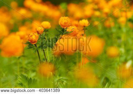 Spring green meadow with orange flowers Globeflowers (Trollius asiaticus)