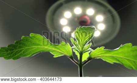 Bottom View Of Growing Marijuana Seedlings Filling With Life Under The Light Of An Led Lamp, Growing