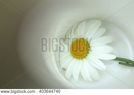 White Daisy In A White Bowl Background. Love, Hope And Strength Concepts. Fragility Concept. Copy Sp