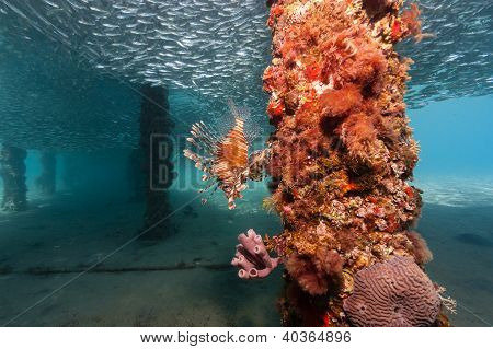 Lone Lionfish Hunting Silverside Bait Fish Underneath A Manmade Jetty