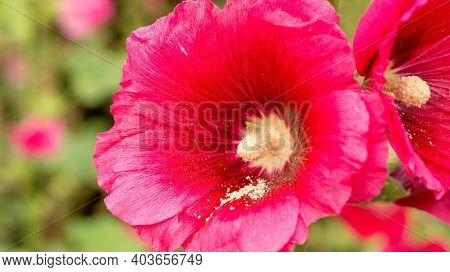 Close Up Of A Pollen Of Red Hollyhocks Flower.