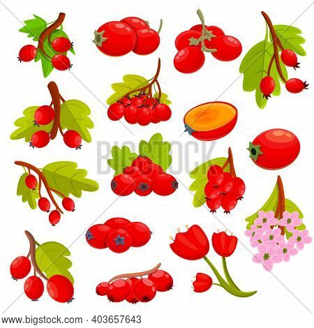 Hawthorn Berry Icons Set. Cartoon Set Of Hawthorn Berry Vector Icons For Web Design