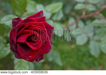 Beautiful Red Home Rose In Garden . Red Summer Rose In The Green Background . Red Rose On A Backgrou