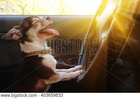 Portrait Of Funny Dog Chihuahua Squinting From Sun Behind Wheel Of Car. Happy Cute Pet With Eyes Clo