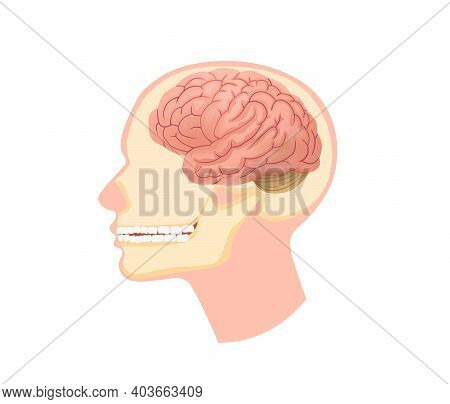 Anatomical Structure Human Head Illustration. Skull In