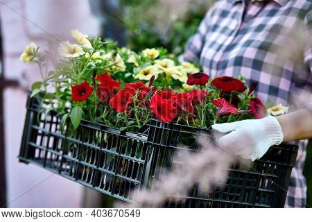 Gardener Is Carrying Flowers In Crate At Shop.