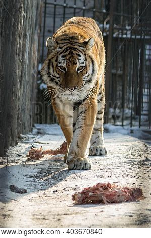 Feeding Meat To A Tiger In The Zoo. A Tiger In A Cage At The Zoo Is Going To Have Lunch. The Gracefu