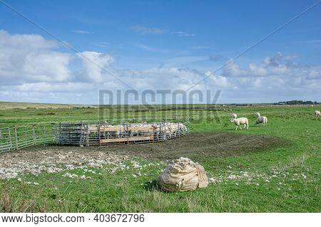 Sheep Shearing On Eiderstedt Peninsula,north Sea,north Frisia,germany