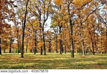 Autumnal Oak Forest. Oak (quercus Robur. Commonly Known: English Oak, Pedunculate Oak Or French Oak