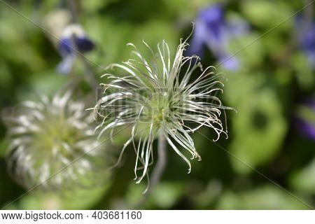 Clematis Hendersonii Seed Head - Latin Name - Clematis Integrifolia Hendersonii
