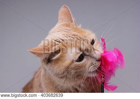 A Red Cat Nibbles On A Cat Toy With Pink Feathers. Funny Playing Pets.