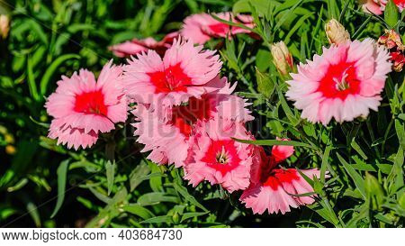 Pink Dianthus Flowers Bloom In The Garden. Summer Blossoms In The Park.