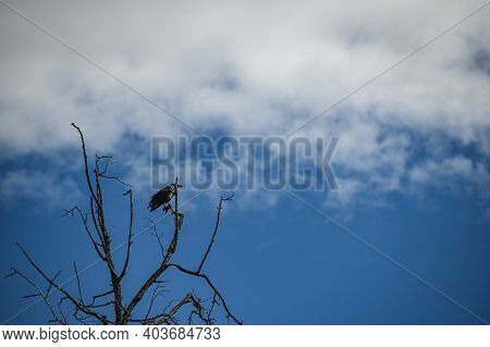 Hooded Crow Sits On A Branch Of A Tree Without Leaves. Dry Tree Against The Blue Sky.