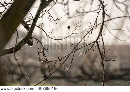 Bare Twigs With Dew