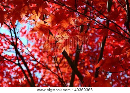 Red Japanese Maple Foliage