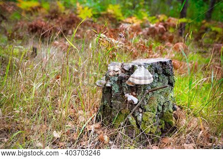 A Decrepit Stump On The Forest Edge Was Overgrown With Moss And Tinder Fungus Chaga. This Is A Color