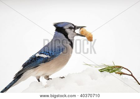 Blue jay in winter with peanut in its beak