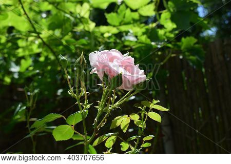 Pink Rose Flower With Buds On Sun On Green Background. Rosarium, Pink Rose Garden. Blooming Pink Ros