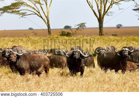 African Buffalos Or Cape Buffalo (syncerus Caffer), Walking In The African Savannah.