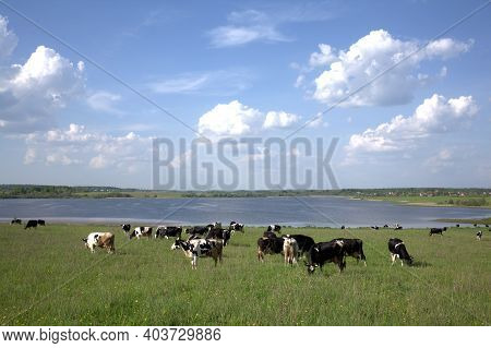 Rural Landscape With Green Meadow Herd Of Cows Grazing Near Large Lake Under Blue Sky With Beautiful