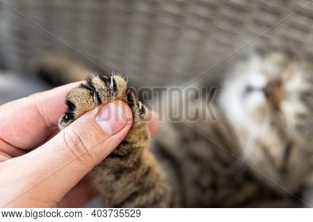Close-up Detail Person Owner Holding Small Cute Fluffy Kitten Paw With Claws In Hand. Animal Abuse D